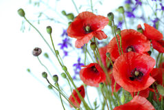 Red Poppy. Is isolated on a white background.Floral border - flower decoration royalty free stock photography