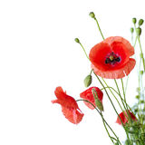 Red Poppy. Is isolated on a white background.Floral border - flower decoration royalty free stock photo
