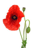 Red poppy. On white background royalty free stock image