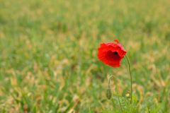 Red poppy. A single red poppy on a green field Royalty Free Stock Photography