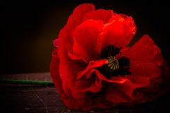 Red Poppy. Image of remembrance stock photography