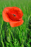Red poppy. Growing in wheat field Royalty Free Stock Photos