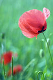 Red poppy. Flower, blurred background Royalty Free Stock Photography