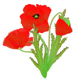A red poppy Stock Image