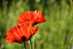 Red poppy. Royalty Free Stock Photo