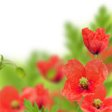 Red poppy. With white background Royalty Free Stock Photo