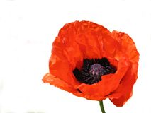 Red poppy. Isolated on a white background royalty free stock images