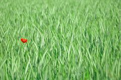 Red poppy. Red poppy in green grain field stock images