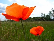 Red poppy. On a meadow against blue sky Royalty Free Stock Photography