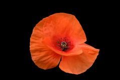 Red poppy. Isolated on black Royalty Free Stock Images