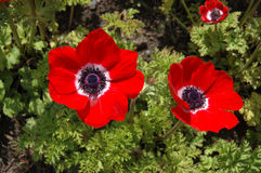 Red poppy. Flower stock photo