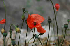 Red poppy. Photo made in Crimea Stock Photography