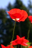 Red poppy. In wildflower field stock photos
