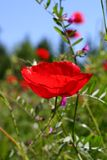 Red poppy. Red summer poppy in wildflower meadow royalty free stock photos