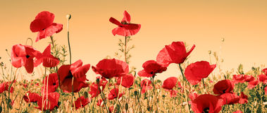 Free Red Poppy Royalty Free Stock Photo - 7937765