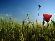 Red poppy. A red poppy in the corn field Stock Image