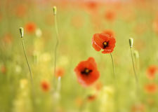 Red poppy. Close-up of red poppy flower against green blurry backgrond.Shallow DOF Royalty Free Stock Images