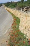 Red poppy. In front of a wall at a country road in mallorca, spain, europe stock image