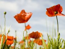 Red poppy. In a meadow at sprigtime Stock Image