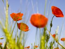 Red poppy. On a field in sprigtime Royalty Free Stock Photo