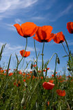 Red poppy. On the spring field stock photo