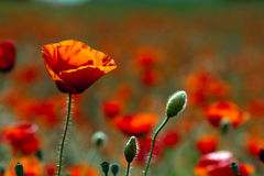 Free Red Poppy Royalty Free Stock Images - 9639729