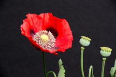 Red poppy against a black background. Royalty Free Stock Photo