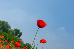 Red poppy against blue cloudless sky in May Stock Photos