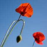 Red poppy against a blue sky. Field with red poppies against a blue sky stock images