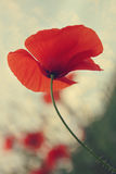 Red Poppy Against Blue Sky. Red poppy photographed against blue sky Royalty Free Stock Image