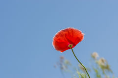 Red poppy against blue sky Stock Photography