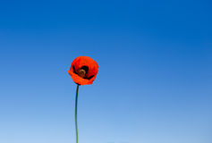 Red poppy against blue sky Stock Images
