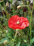 Red poppy against green grass Royalty Free Stock Photo