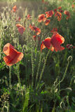 Red poppy. Against the light Royalty Free Stock Images