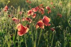 Red poppy. Against the light Stock Photos