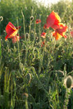 Red poppy. Against the light Royalty Free Stock Photos