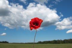 Red poppy. Stock Image