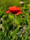 Red poppy backlit amidst wild plants. On unfocused natural background stock photos