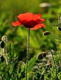 Red poppy backlit amidst wild plants Stock Photos