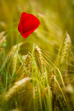 Red poppy in a barley field Stock Photos