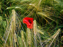 Red poppy on barley field Royalty Free Stock Image
