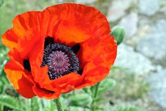 Red poppy. Beautiful big red poppy blossom Royalty Free Stock Image