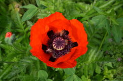Red poppy and bees Stock Photography