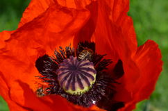 Red poppy and bees Stock Images