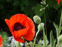 Red poppy. Big red poppy in summer Stock Image