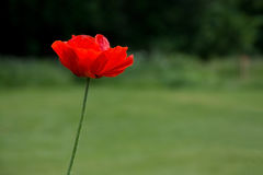 Red poppy with black pistils Stock Images