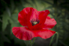 Red Poppy with black pistils Stock Photography