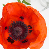 Red poppy with black stamens Stock Photos