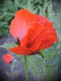 Red poppy bloom Stock Image