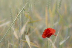 Red poppy in bloom isolated on a green herbs field Stock Photos